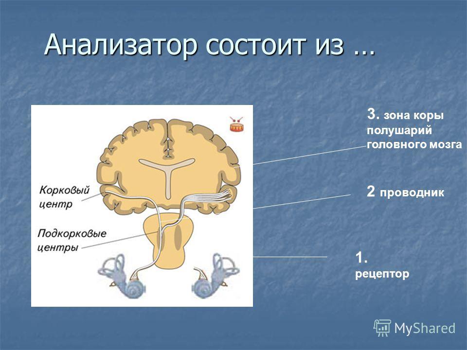 1. рецептор 3. зона коры полушарий головного мозга 2 проводник