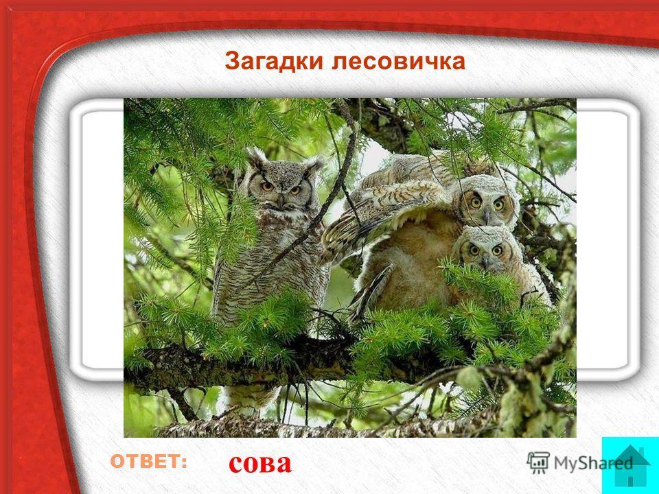 Загадки лесовичка Лесная жалоба ОТВЕТ: сова