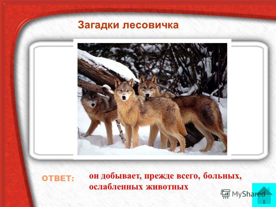 Загадки лесовичка Почему волка называют санитаром леса? ОТВЕТ: он добывает, прежде всего, больных, ослабленных животных