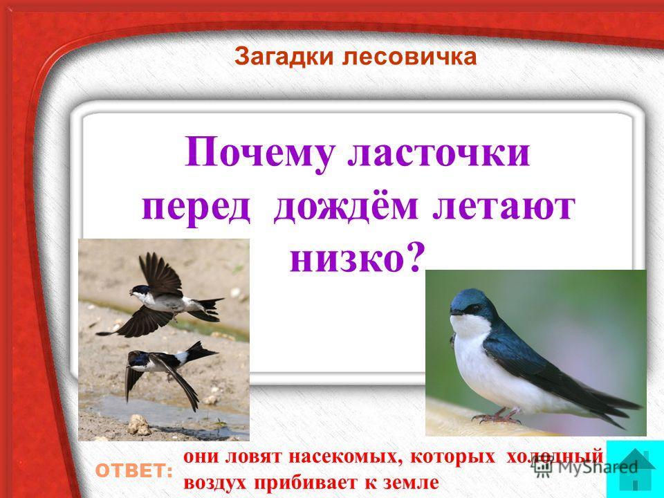 Загадки лесовичка Почему ласточки перед дождём летают низко? ОТВЕТ: они ловят насекомых, которых холодный воздух прибивает к земле