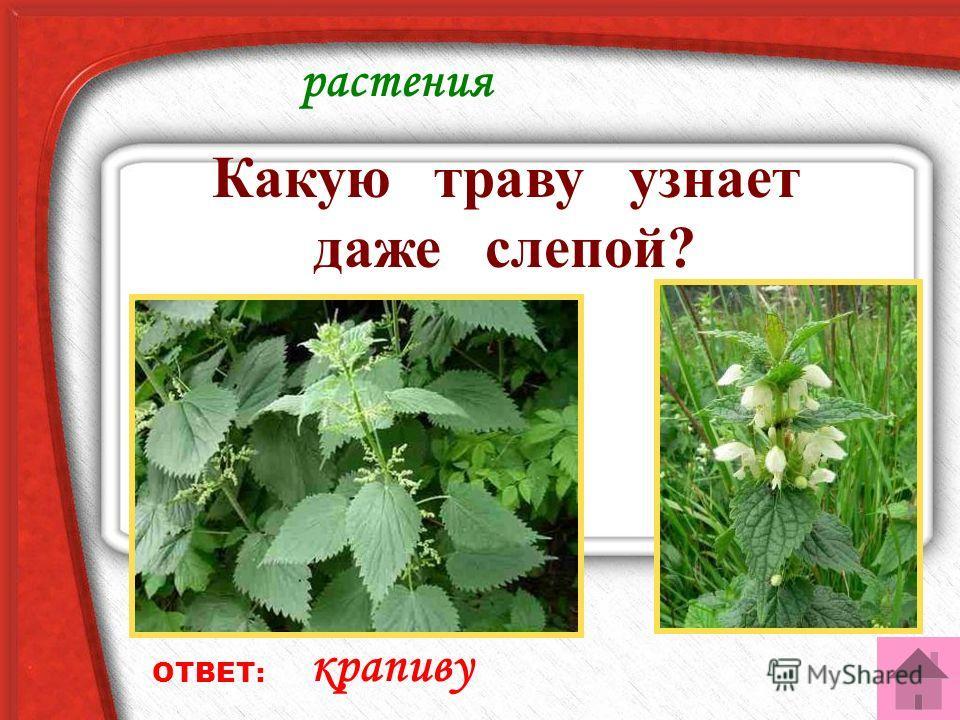 растения Какую траву узнает даже слепой? ОТВЕТ: крапиву