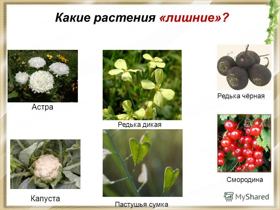 Какие растения «лишние»? Редька чёрная Астра Капуста Смородина Редька дикая Пастушья сумка