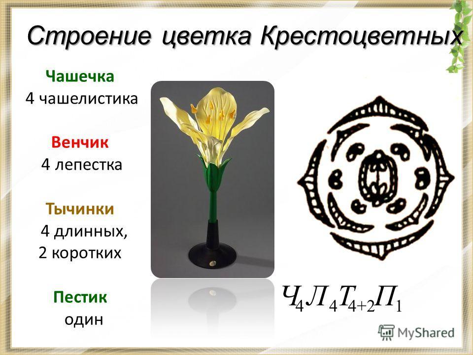 Строение цветка Крестоцветных Чашечка 4 чашелистика Венчик 4 лепестка Тычинки 4 длинных, 2 коротких Пестик один 1 П 4+2 Т 4 Л 4 Ч