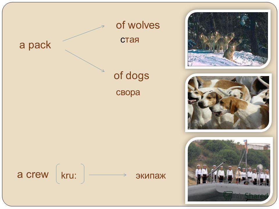 a pack of wolves of dogs стая свора a crew kru:экипаж