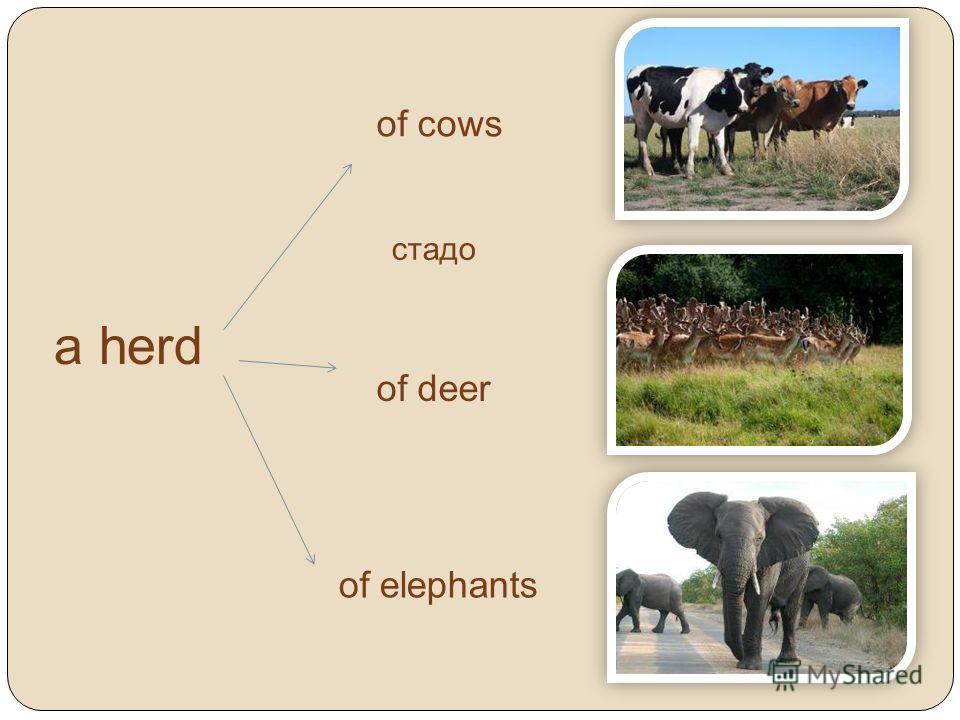 a herd of cows of deer of elephants стадо
