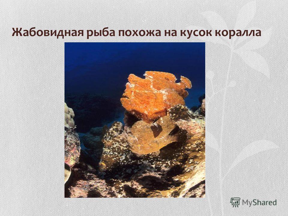 Жабовидная рыба похожа на кусок коралла
