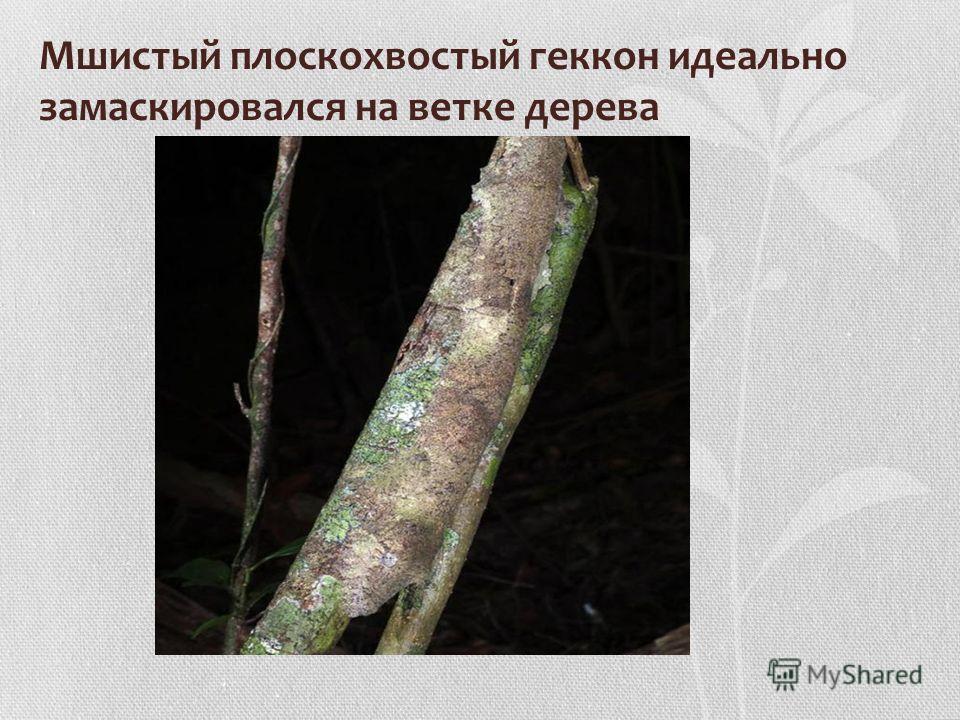 Мшистый плоскохвостый геккон идеально замаскировался на ветке дерева