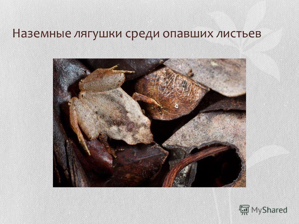 Наземные лягушки среди опавших листьев