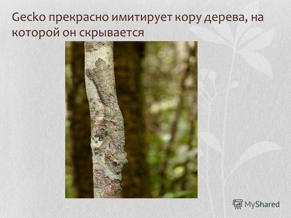 Gecko прекрасно имитирует кору дерева, на которой он скрывается