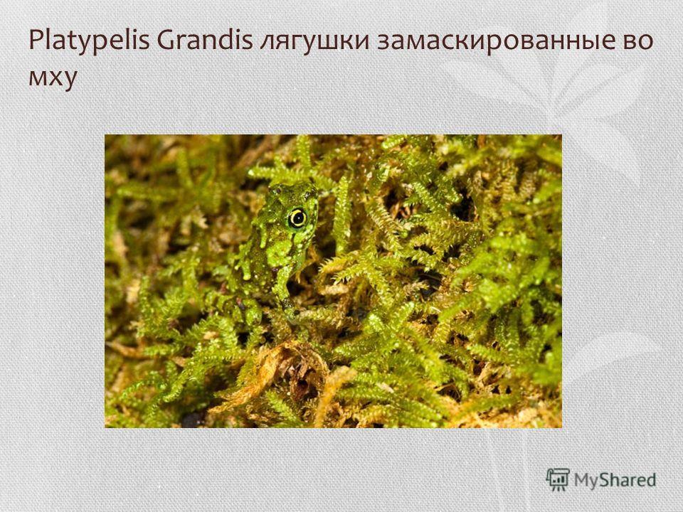 Platypelis Grandis лягушки замаскированные во мху