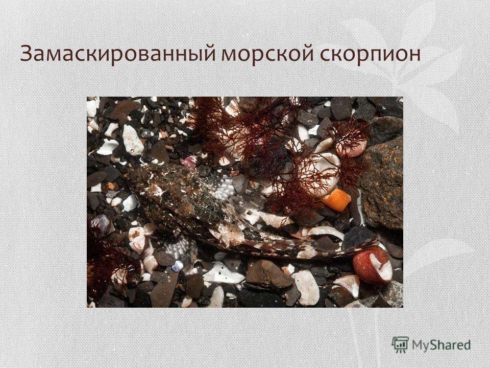 Замаскированный морской скорпион
