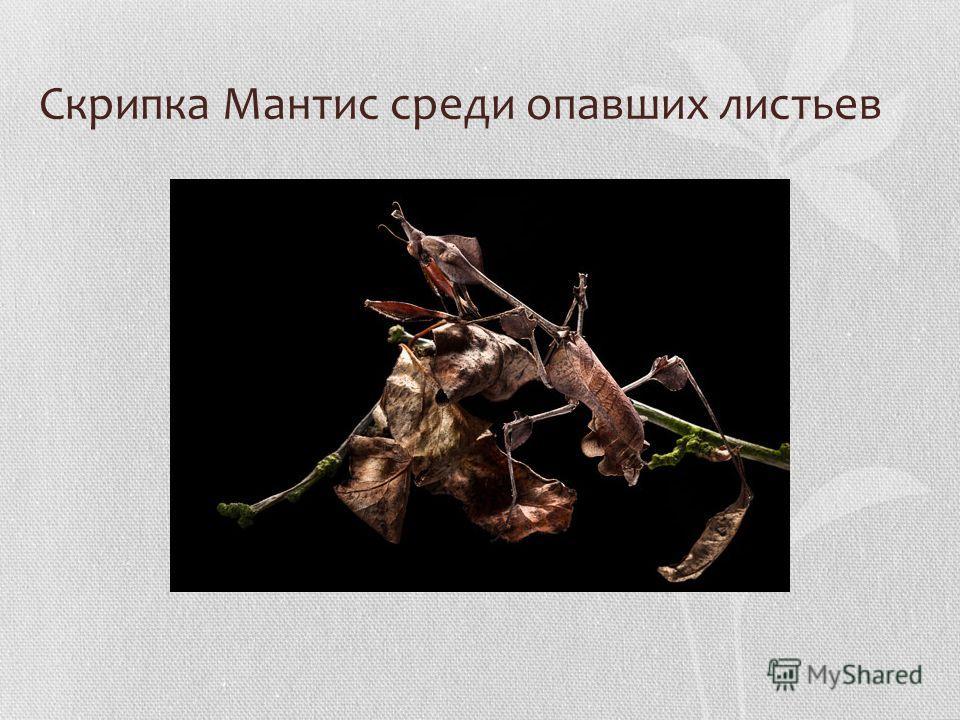 Скрипка Мантис среди опавших листьев