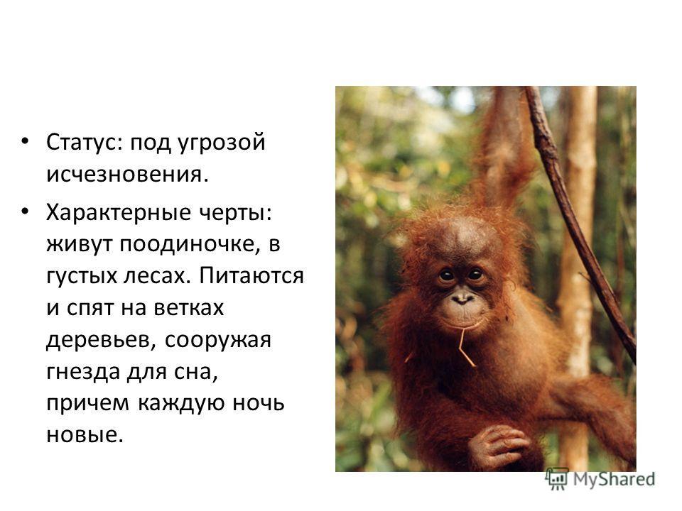 Статус: под угрозой исчезновения. Характерные черты: живут поодиночке, в густых лесах. Питаются и спят на ветках деревьев, сооружая гнезда для сна, причем каждую ночь новые.