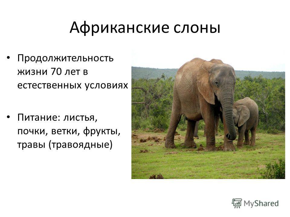 Африканские слоны Продолжительность жизни 70 лет в естественных условиях Питание: листья, почки, ветки, фрукты, травы (травоядные)