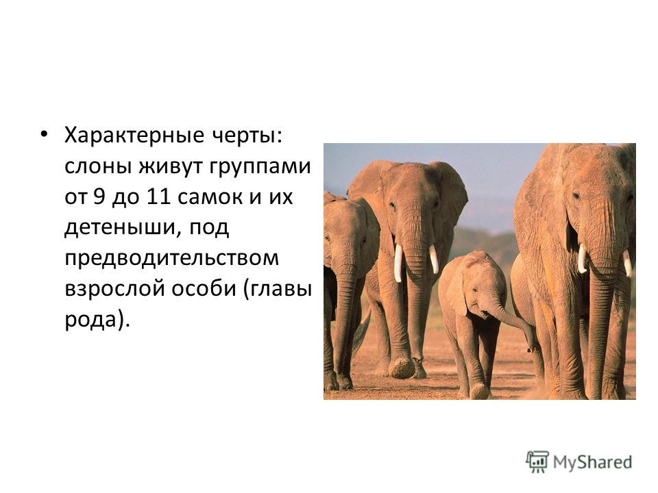 Характерные черты: слоны живут группами от 9 до 11 самок и их детеныши, под предводительством взрослой особи (главы рода).