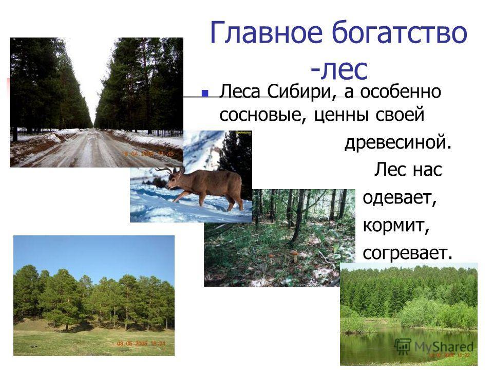 Главное богатство -лес Леса Сибири, а особенно сосновые, ценны своей древесиной. Лес нас одевает, кормит, согревает.