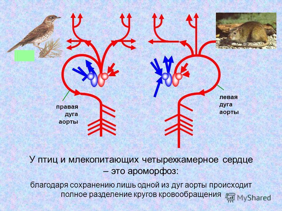 правая дуга аорты левая дуга аорты благодаря сохранению лишь одной из дуг аорты происходит полное разделение кругов кровообращения У птиц и млекопитающих четырехкамерное сердце – это ароморфоз: