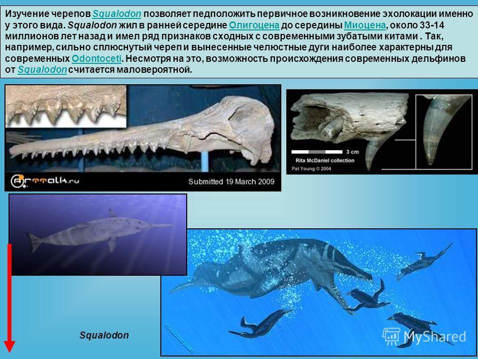 Изучение черепов Squalodon позволяет предположить первичное возникновение эхолокации именно у этого вида. Squalodon жил в ранней середине Олигоцена до середины Миоцена, около 33-14 миллионов лет назад и имел ряд признаков сходных с современными зубат