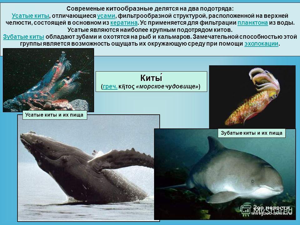 Современые китообразные делятся на два подотряда: Усатые киты Усатые киты, отличающиеся усами, фильтрообразной структурой, расположенной на верхней челюсти, состоящей в основном из кератина. Ус применяется для фильтрации планктона из воды. Усатые явл