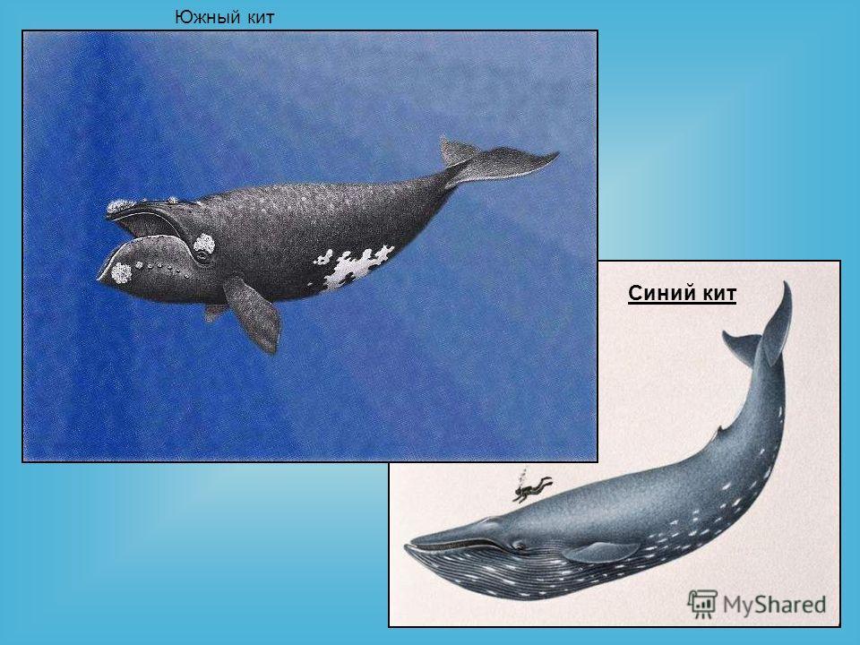 Южный кит Синий кит