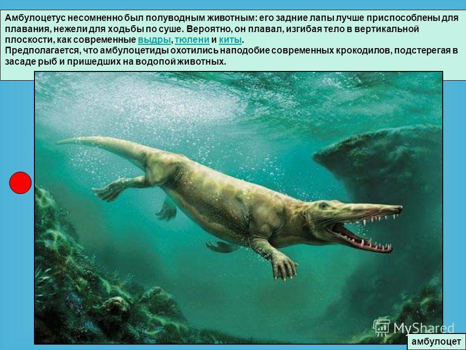 Амбулоцетус несомненно был полуводным животным: его задние лапы лучше приспособлены для плавания, нежели для ходьбы по суше. Вероятно, он плавал, изгибая тело в вертикальной плоскости, как современные выдры, тюлени и киты.выдрытюленикиты Предполагает