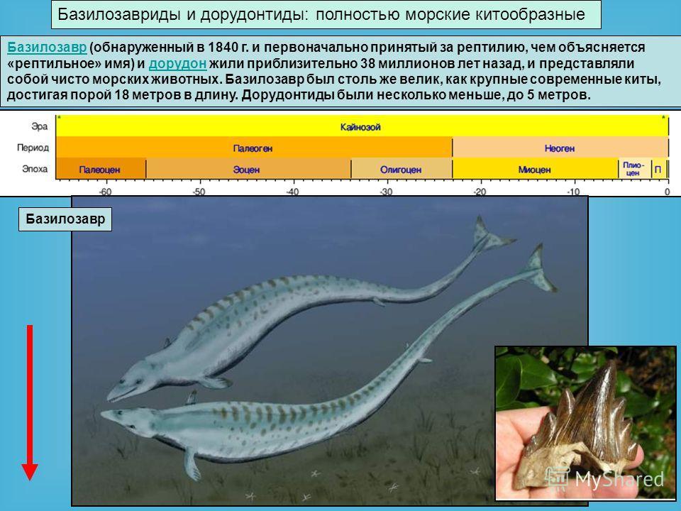 Базилозавриды и дорудонтиды: полностью морские китообразные Базилозавр Базилозавр (обнаруженный в 1840 г. и первоначально принятый за рептилию, чем объясняется «рептильное» имя) и дорудон жили приблизительно 38 миллионов лет назад, и представляли соб