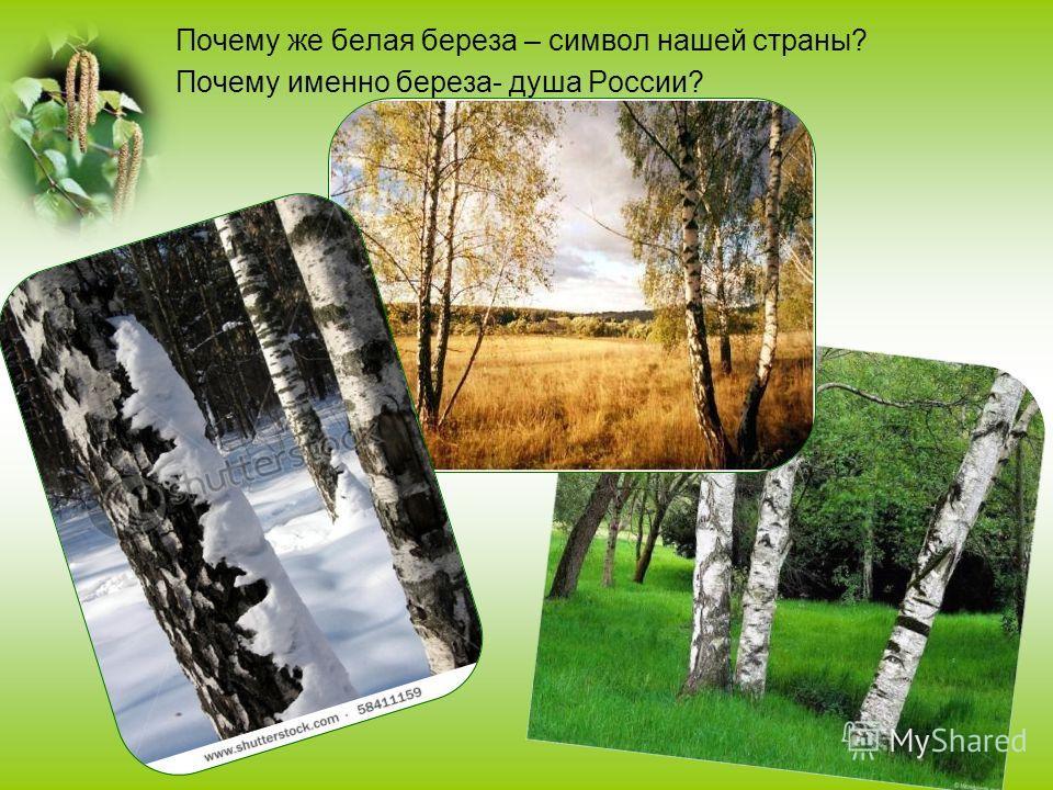Почему же белая береза – символ нашей страны? Почему именно береза- душа России?