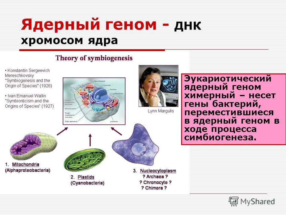 Ядерный геном - ДНК хромосом ядра Эукариотический ядерный геном химерный – несет гены бактерий, переместившиеся в ядерный геном в ходе процесса симбиогенеза.