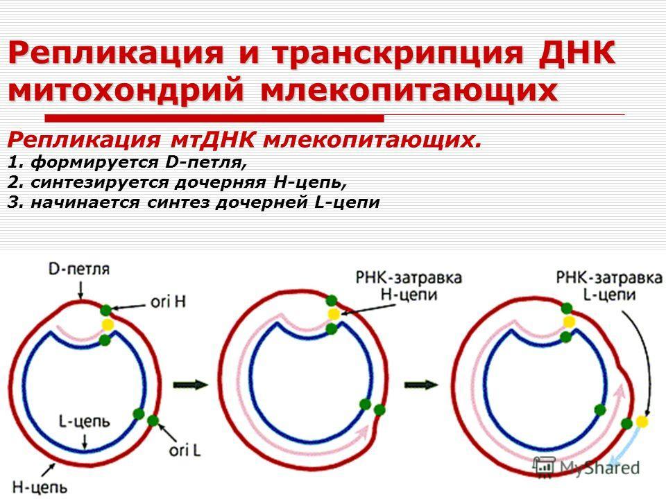 Репликация и транскрипция ДНК митохондрий млекопитающих Репликация мтДНК млекопитающих. 1. формируется D-петля, 2. синтезируется дочерняя Н-цепь, 3. начинается синтез дочерней L-цепи