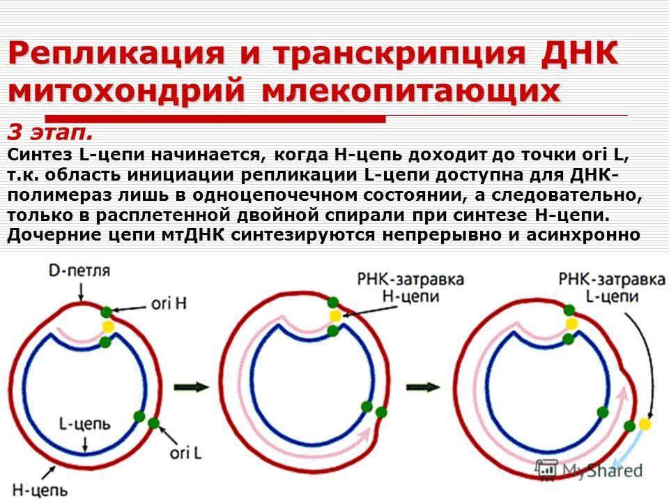 Репликация и транскрипция ДНК митохондрий млекопитающих 3 этап. Синтез L-цепи начинается, когда Н-цепь доходит до точки ori L, т.к. область инициации репликации L-цепи доступна для ДНК- полимераз лишь в одноцепочечном состоянии, а следовательно, толь