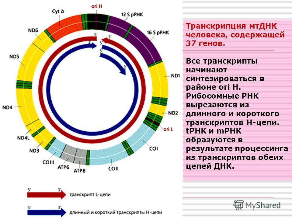 Транскрипция мтДНК человека, содержащей 37 генов. Все транскрипты начинают синтезироваться в районе ori H. Рибосомные РНК вырезаются из длинного и короткого транскриптов Н-цепи. тРНК и mРНК образуются в результате процессинга из транскриптов обеих це