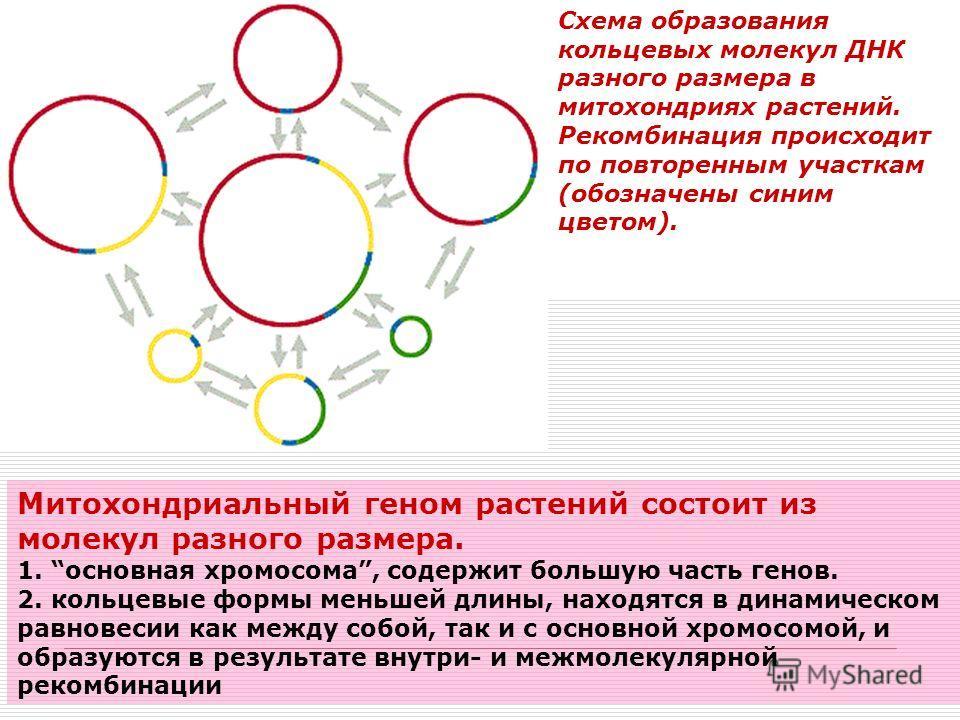Схема образования кольцевых молекул ДНК разного размера в митохондриях растений. Рекомбинация происходит по повторенным участкам (обозначены синим цветом). Митохондриальный геном растений состоит из молекул разного размера. 1. основная хромосома, сод