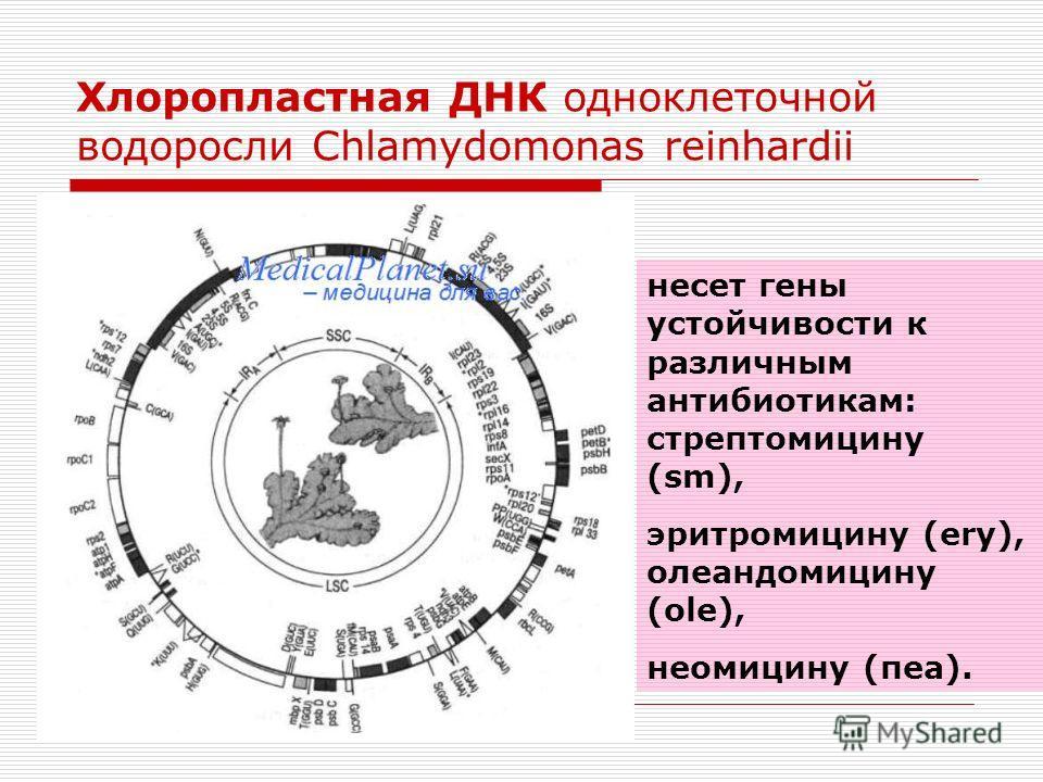 Хлоропластная ДНК одноклеточной водоросли Chlamydomonas reinhardii несет гены устойчивости к различным антибиотикам: стрептомицину (sm), эритромицину (еrу), олеандомицину (оlе), неомицину (пеа).