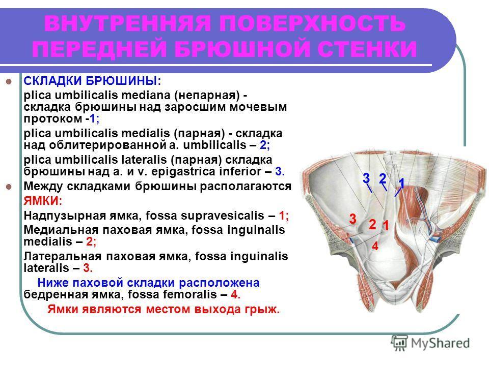 ВНУТРЕННЯЯ ПОВЕРХНОСТЬ ПЕРЕДНЕЙ БРЮШНОЙ СТЕНКИ СКЛАДКИ БРЮШИНЫ: plica umbilicalis mediana (непарная) - складка брюшины над заросшим мочевым протоком -1; plica umbilicalis medialis (парная) - складка над облитерированной a. umbilicalis – 2; plica umbi