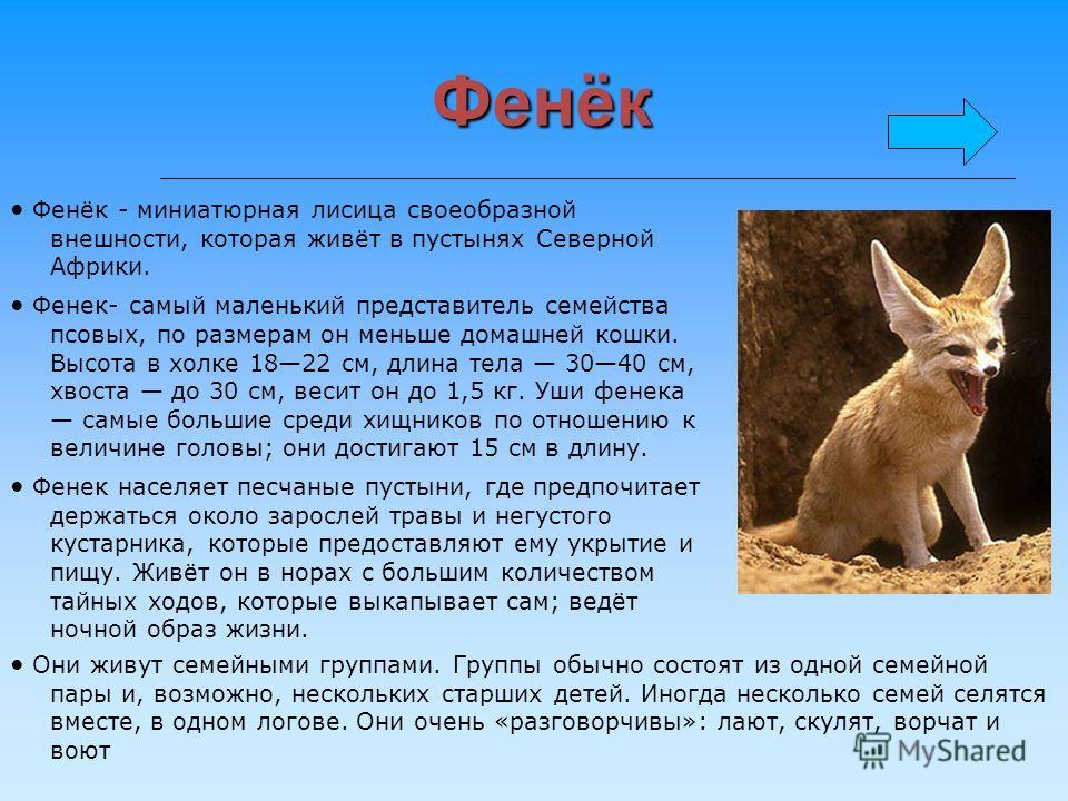 Фенёк Фенёк - миниатюрная лисица своеобразной внешности, которая живёт в пустынях Северной Африки. Фенек- самый маленький представитель семейства псовых, по размерам он меньше домашней кошки. Высота в холке 1822 см, длина тела 3040 см, хвоста до 30 с