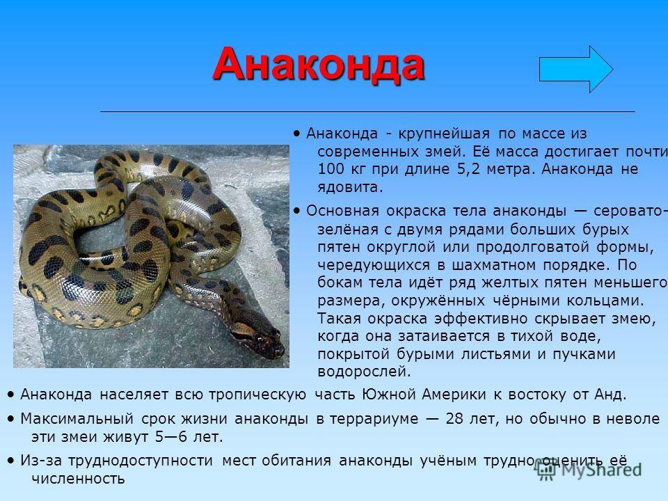 Анаконда Анаконда - крупнейшая по массе из современных змей. Её масса достигает почти 100 кг при длине 5,2 метра. Анаконда не ядовита. Основная окраска тела анаконды серовато- зелёная с двумя рядами больших бурых пятен округлой или продолговатой форм