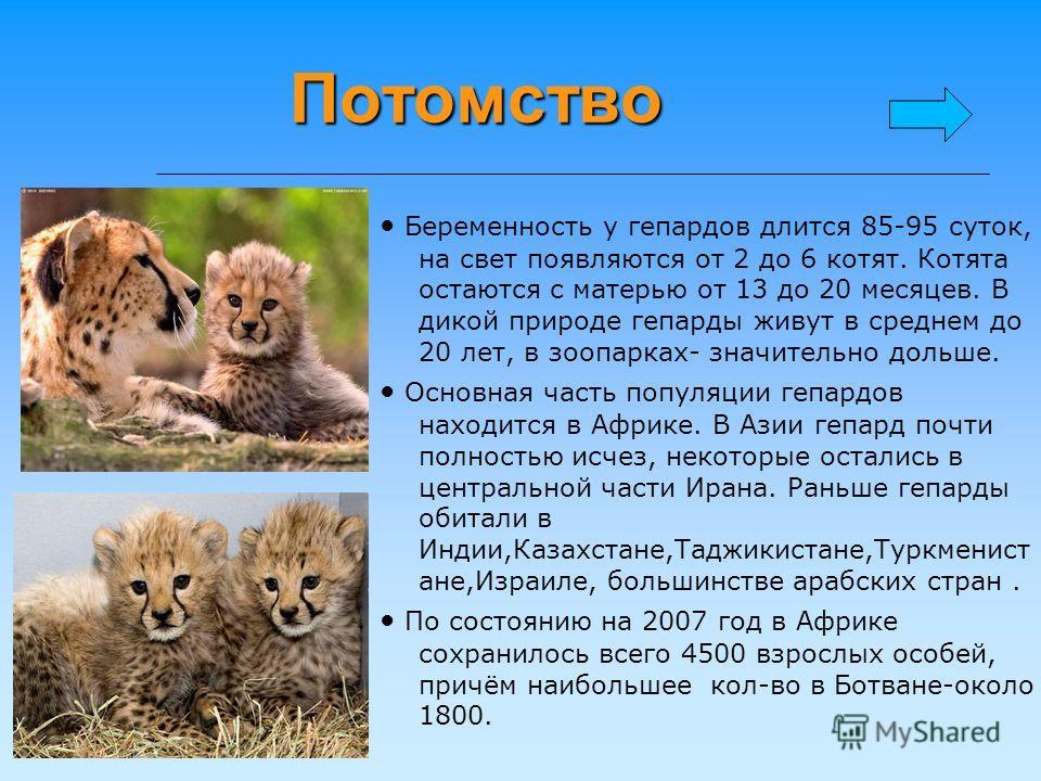 Потомство Беременность у гепардов длится 85-95 суток, на свет появляются от 2 до 6 котят. Котята остаются с матерью от 13 до 20 месяцев. В дикой природе гепарды живут в среднем до 20 лет, в зоопарках- значительно дольше. Основная часть популяции гепа