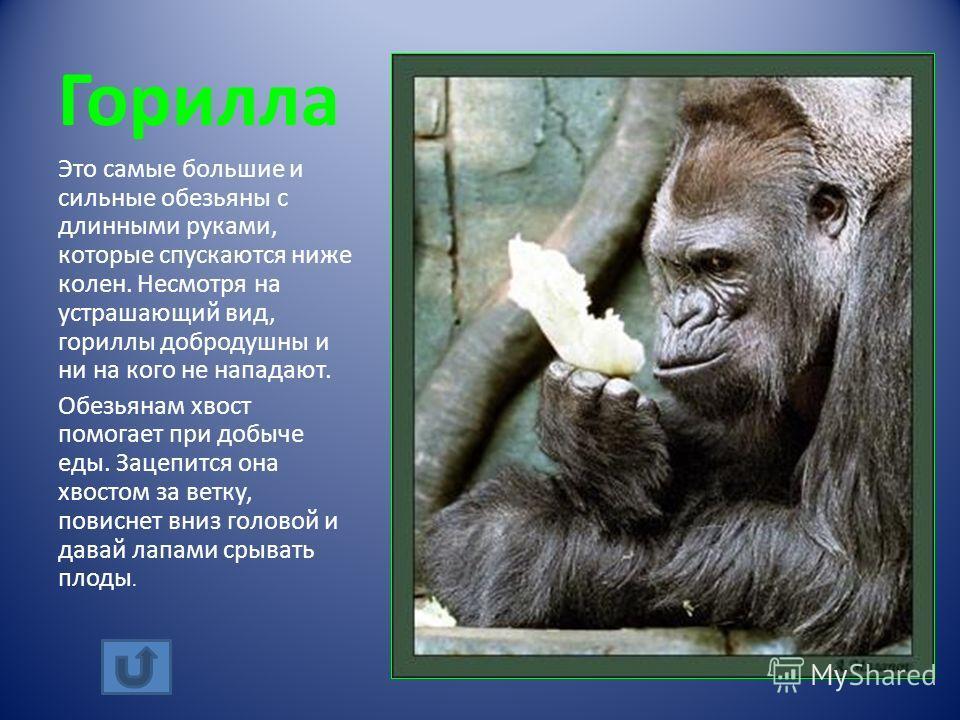 Горилла Это самые большие и сильные обезьяны с длинными руками, которые спускаются ниже колен. Несмотря на устрашающий вид, гориллы добродушны и ни на кого не нападают. Обезьянам хвост помогает при добыче еды. Зацепится она хвостом за ветку, повиснет