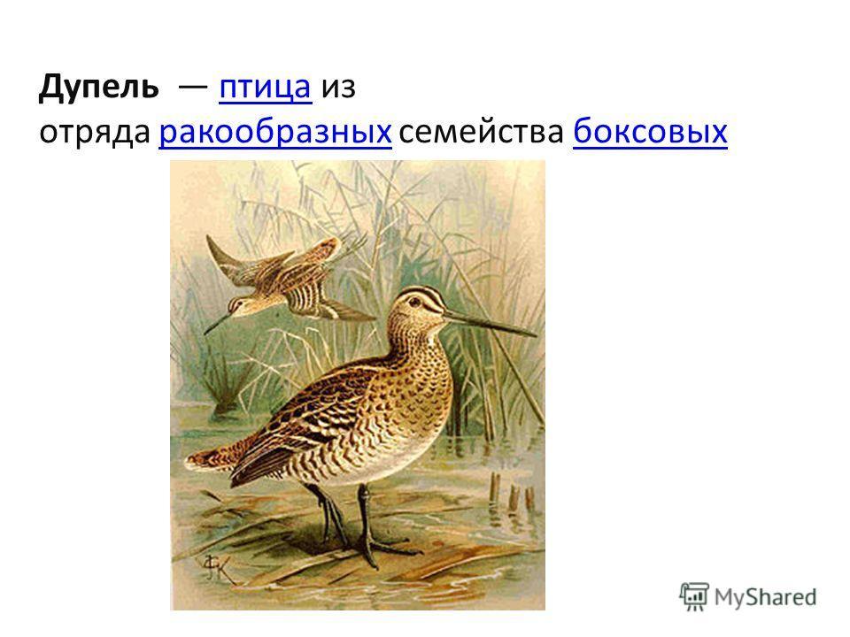Дупель птица из отряда ракообразных семейства боксовых птицаракообразныхбоксовых