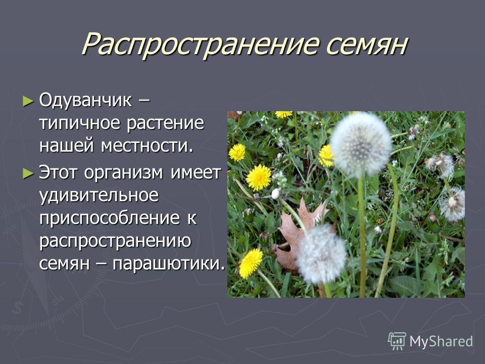 Распространение семян Одуванчик – типичное растение нашей местности. Одуванчик – типичное растение нашей местности. Этот организм имеет удивительное приспособление к распространению семян – парашютики. Этот организм имеет удивительное приспособление