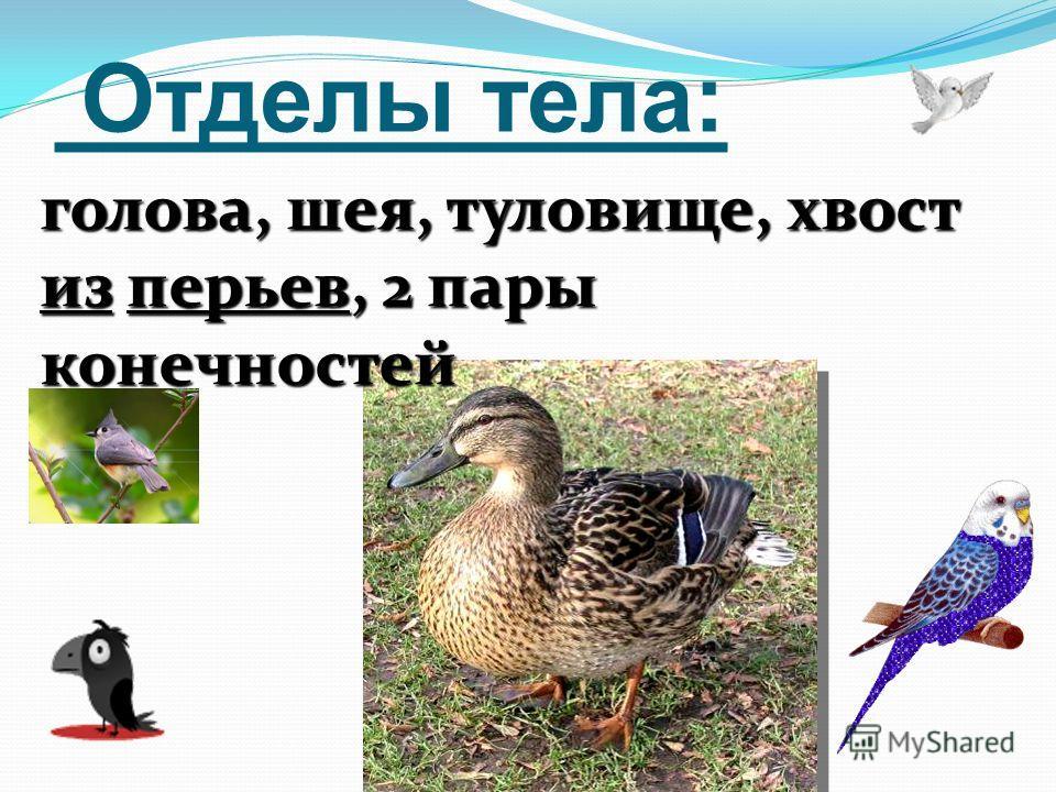 Отделы тела: голова, шея, туловище, хвост из перьев, 2 пары конечностей
