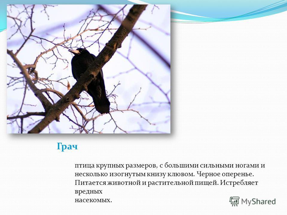Грач птица крупных размеров, с большими сильными ногами и несколько изогнутым книзу клювом. Черное оперенье. Питается животной и растительной пищей. Истребляет вредных насекомых.