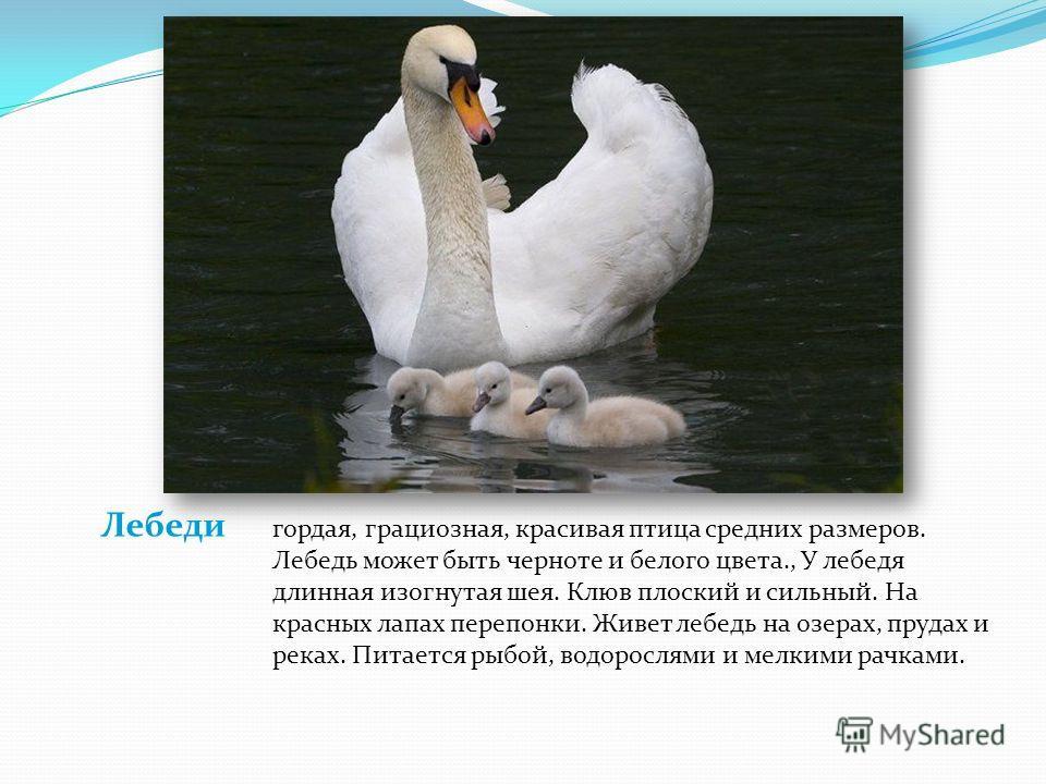Лебеди гордая, грациозная, красивая птица средних размеров. Лебедь может быть черноте и белого цвета., У лебедя длинная изогнутая шея. Клюв плоский и сильный. На красных лапах перепонки. Живет лебедь на озерах, прудах и реках. Питается рыбой, водорос