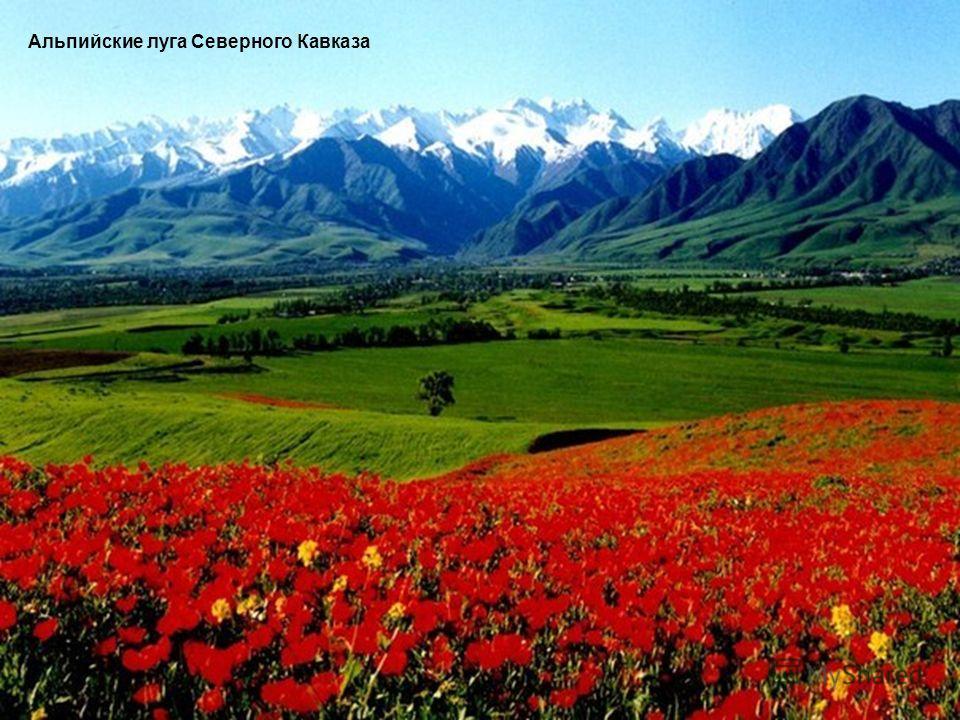 Альпийские луга Северного Кавказа