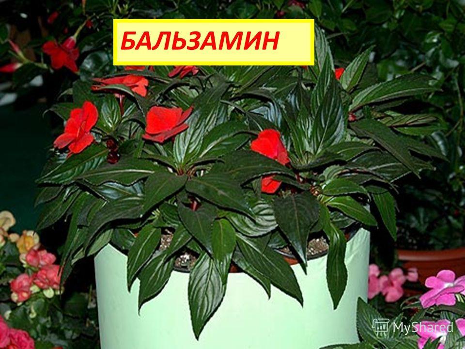 На окне зимой и летом Вечно зелен и красив. Ярко-красным цветом Горит нежно... БАЛЬЗАМИН