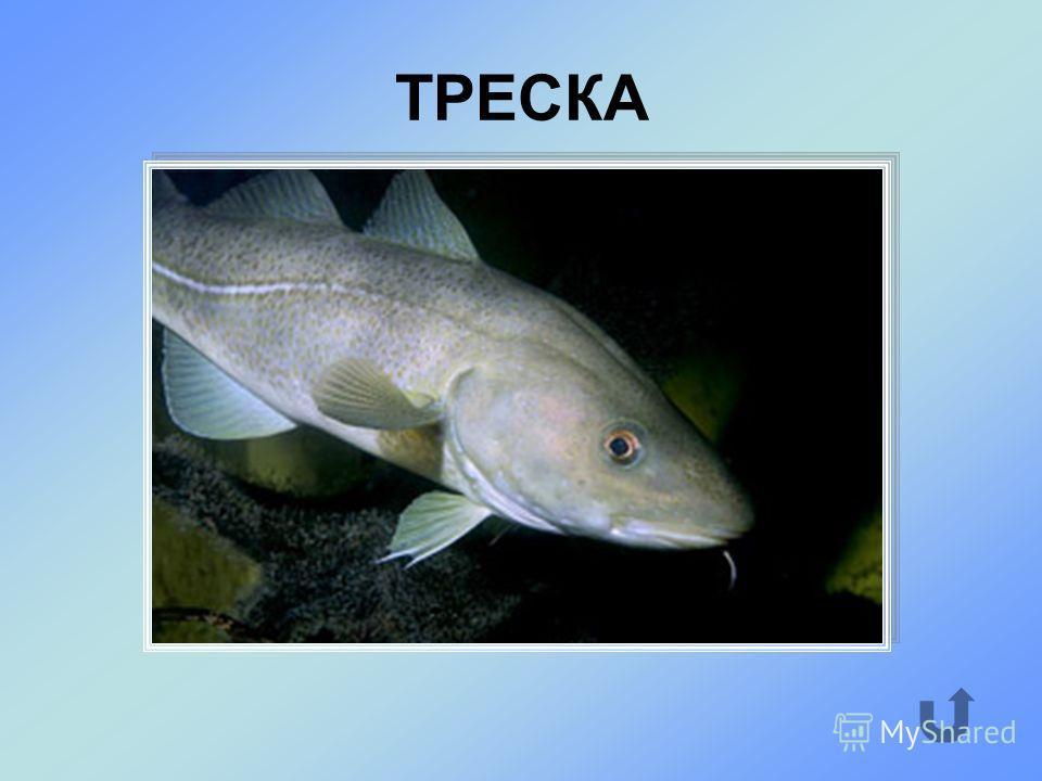 Промысловая рыба, обитающая в Северном Ледовитом океане.