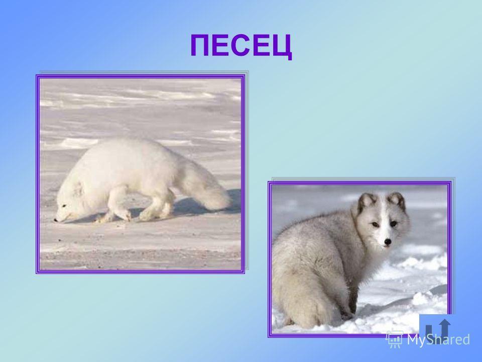 Небольшой хищный зверь, которого называют ещё полярной лисицей.