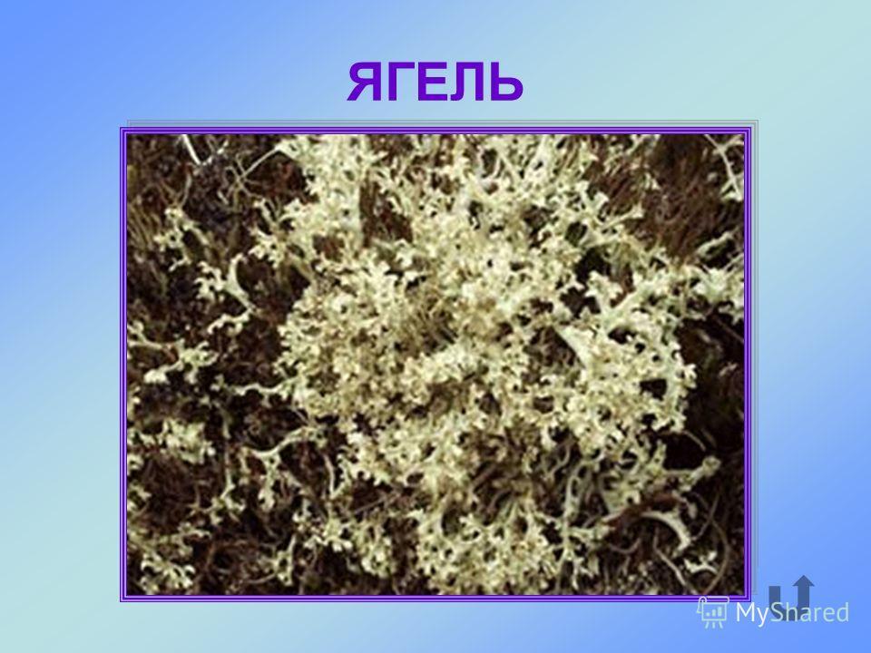 Почти белый мох высотой до 30-40 см является основной пищей северных оленей.