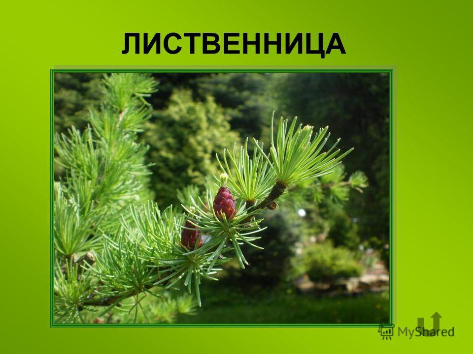 Хвойное дерево, которое на зиму сбрасывает хвою.
