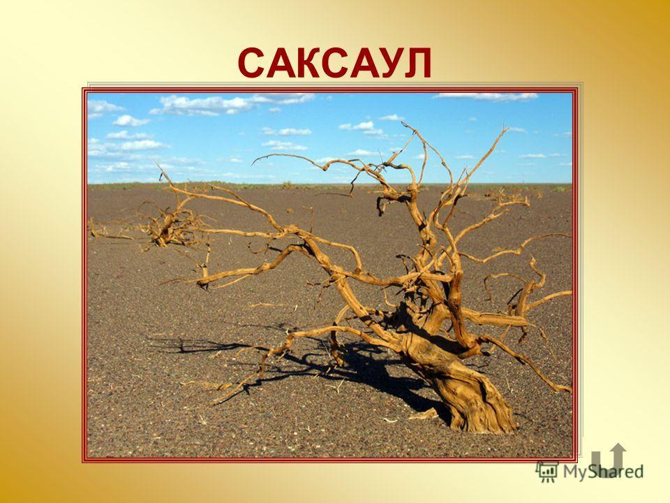 Небольшое, с крепкой древесиной дерево азиатских пустынь и полупустынь.